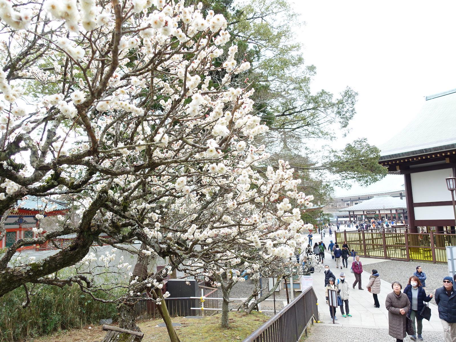 านเทศกาลบ๊วยจะจัดที่นาริตะซังซึ่งเป็นสถานที่ท่องเที่ยวที่มีชื่อเสียง