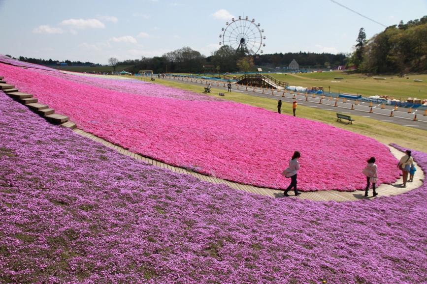 ทุ่งดอกชิบะซากุระสุดน่ารักที่Tokyo German Village!
